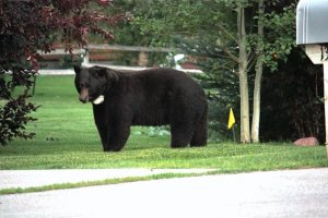 Houdini, the Aspen local bear 8/19